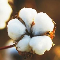 "Zeep ""Cotton Flower"""