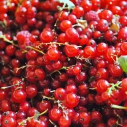 Gelatina di uva spina