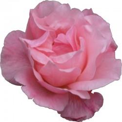 perfume con rosa