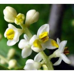 Sapone ai fiori d'oliva