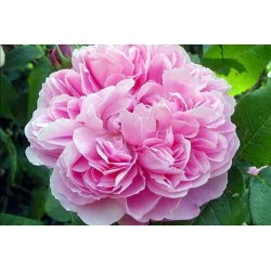Savon Rose Ancienne